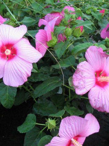 Hibiscus moscheutos 'Mauvelous' - Newbiscus hibiscus