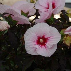 Hibiscus moscheutos 'Carousel Pink Candy' (='TAHI12') - Hibiscus
