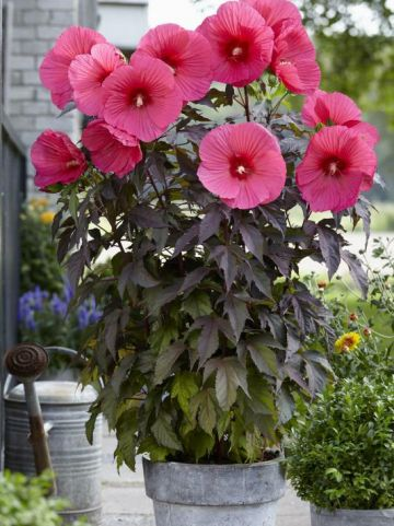Hibiscus moscheutos 'Carousel Pink Passion' (='TAHI16') - Hibiscus