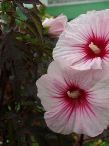 Hibiscus moscheutos 'Carousel Jolly Heart' (='TAHI56') - Hibiscus