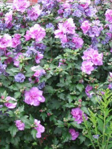 Hibiscus syriacus 'Ardens' - Althaeastruik