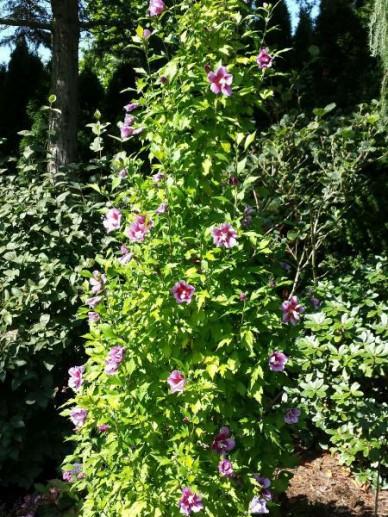 Hibiscus syriacus 'Purple Pillar' (='Gandini Santiago') - Zuilvormige althaeastruik