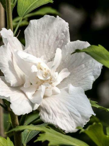 Hibiscus syriacus 'White Pillar' (='Gandini van Aart') - Zuilvormige althaeastruik