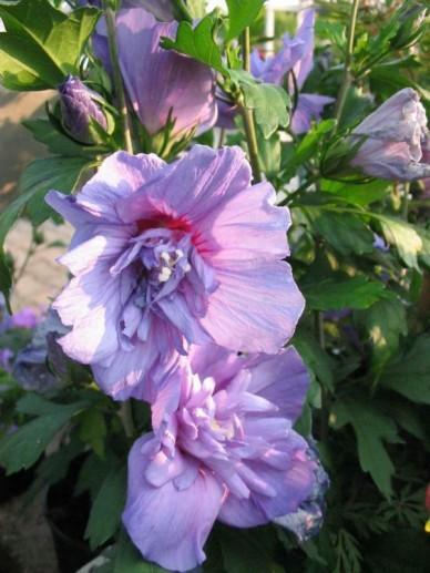 Hibiscus Syriacus Blue Chiffon Notwood3 Althaeastruik De