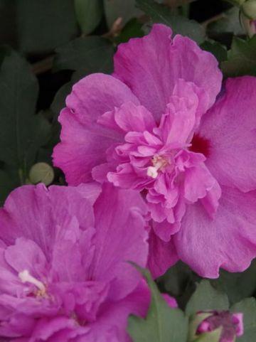 Hibiscus syriacus 'Lavender Chiffon' (='Notwoodone') - Althaeastruik