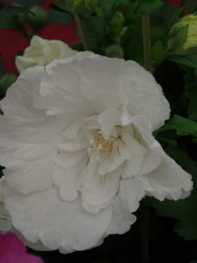 Hibiscus Syriacus White Chiffon Notwoodtwo Althaeastruik