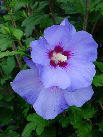 Hibiscus syriacus ´Oiseau Bleu´ ('Blue Bird') - Altheastruik, heemstroos