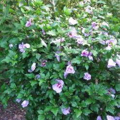 Hibiscus syriacus 'Pink Flirt' - Althaeastruik
