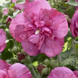 Hibiscus syriacus 'Magenta Chiffon' (='RWOODS5') - Althaeastruik