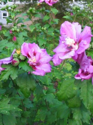 Hibiscus syriacus 'Stadt Erlenbach' - Alceastruik