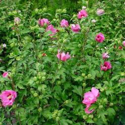 Hibiscus syriacus 'Woodbridge' - Althaeastruik