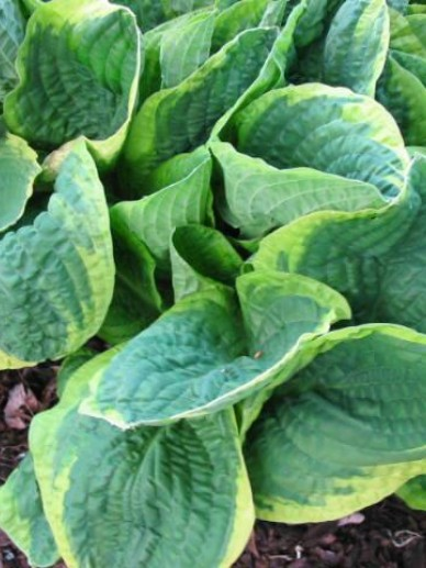 Hosta  'Christmas Tree' - Hartlelie , Funkia