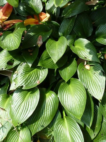 Hosta  'Devon Green' - Hartlelie , Funkia