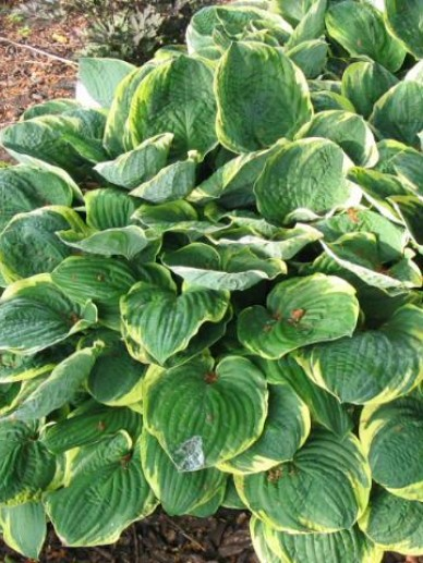 Hosta 'Frances Williams' - Hartlelie