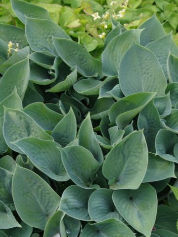 Hosta  'Hadspen Blue' - Hartlelie