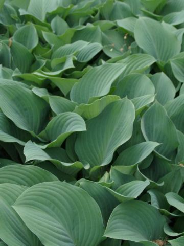 Hosta  'Krossa Regal' - Hartlelie