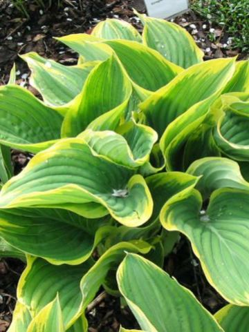 Hosta  'Sagae' - Hartlelie