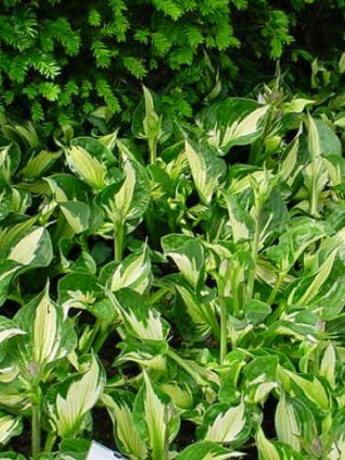 Hosta  'Whirlwind' - Hartlelie