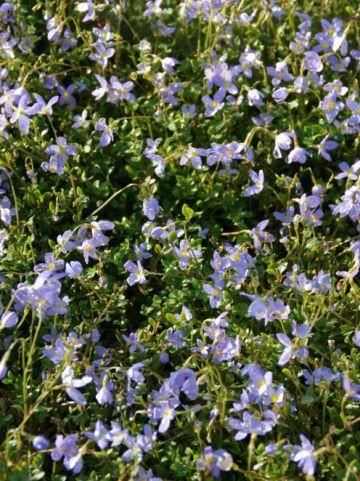 Houstonia caerulea 'Millard's Variety' - Porseleinsterretje, alpengemkers
