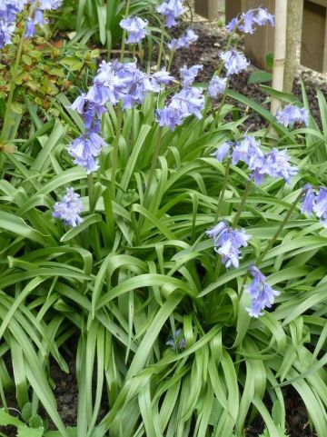 Hyacinthoides hispanica - Spaanse boshyacint