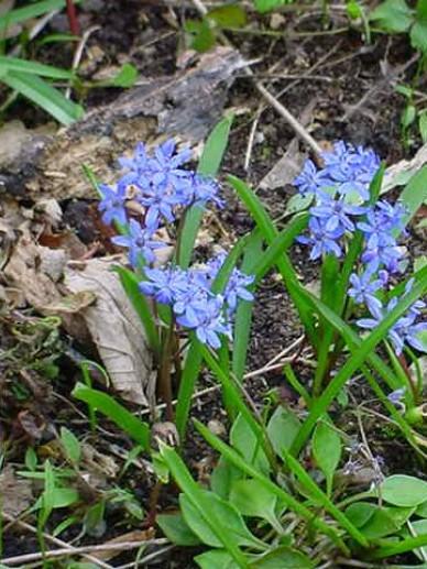 Hyacinthoides non-scripta  - Wilde hyacinth , Bluebell , Boshyacinth