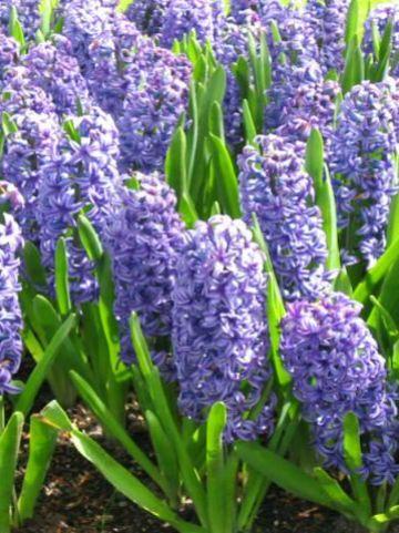 Hyacinthus orientalis 'Blue Jacket' - Hyacint