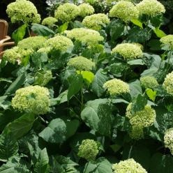 Hydrangea arborescens 'Incrediball' (='Abetwo') - Hortensia