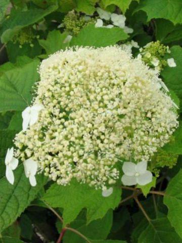 Hydrangea arborescens 'White Dome' (='Dardom') - Hortensia