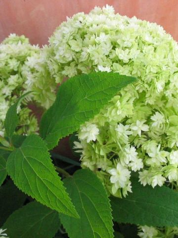 Hydrangea arborescens 'Hayes Starburst' - Dubbelbloemige hortensia