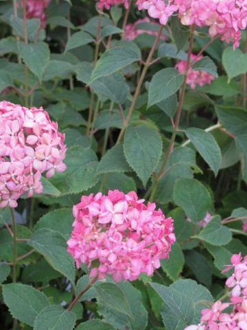 Hydrangea arborescens 'Invincibelle' (='NCHA1') - Hortensia