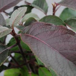 Hydrangea aspera 'Hot Chocolate' (='Haopr012') - Hortensia