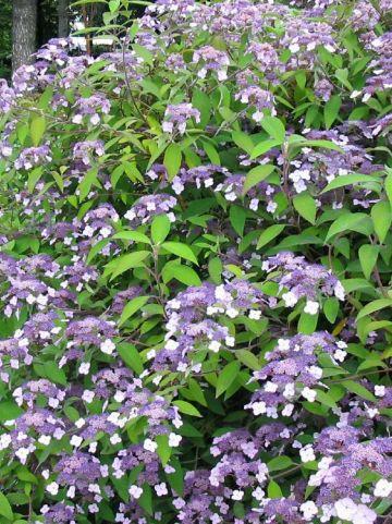 Hydrangea aspera 'Mauvette' - Hortensia