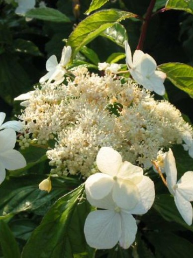 Hydrangea heteromalla 'Bretschneideri' - Hortensia