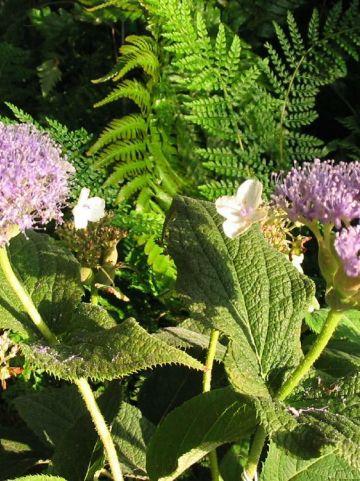 Hydrangea involucrata - Hortensia