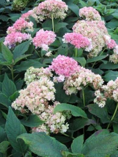 Hydrangea involucrata 'Yokudanka' - Hortensia