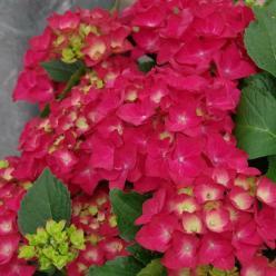 Hydrangea macrophylla 'Hot Red' (='Agrihydradrie') - Boerenhortensia