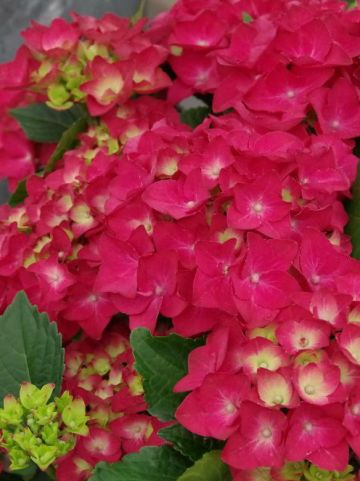 Hydrangea macrophylla 'Hot Red' (='Agrihydradrie') - Boerenhortensia