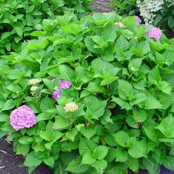 Hydrangea macrophylla 'Altona' - Boerenhortensia