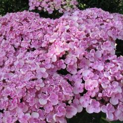 Hydrangea macrophylla 'Ayesha' - Tuinhortensia