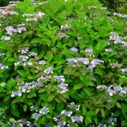 Hydrangea macrophylla 'Belzonii' - Hortensia