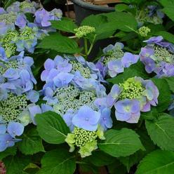 Hydrangea macrophylla 'Blaumeise' - Hortensia