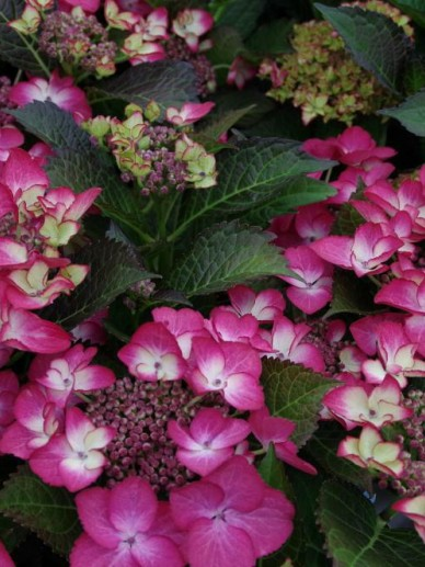 Hydrangea macrophylla 'Black Diamonds Dark Ang' (='Dark Angel') - Hortensia