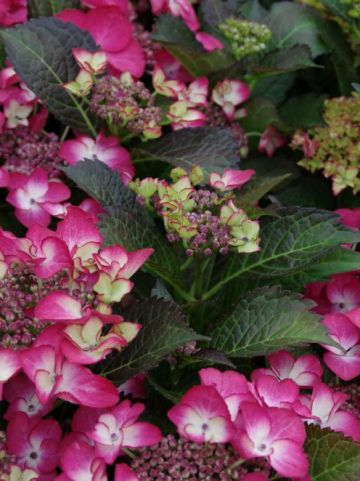 Hydrangea macrophylla 'Black Diamonds Dark Ang' (='Dark Angel') - Hortensia