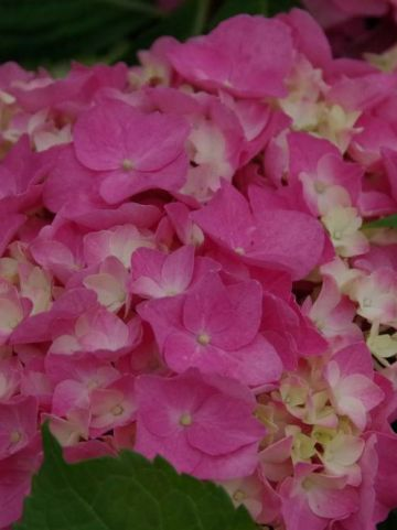 Hydrangea macrophylla 'Flair&Flavours Sweet Cupcake' (='ES14') - Boerenhortensia