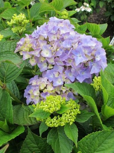 Hydrangea macrophylla 'Gartenbaudirektor Kühnert' - Boerenhortensia