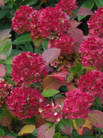 Hydrangea macrophylla 'Gertrude Glahn' - Boerenhortensia