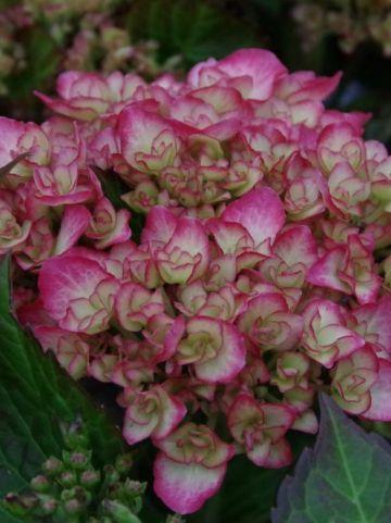 Hydrangea macrophylla 'Grafin Cosel' - Boerenhortensia
