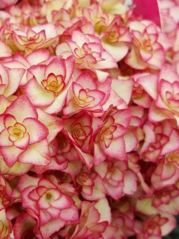 Hydrangea macrophylla 'Miss Saori' (='H2002') - Boerenhortensia