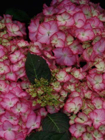 Hydrangea macrophylla 'Adula' (='H211901') - Boerenhortensia