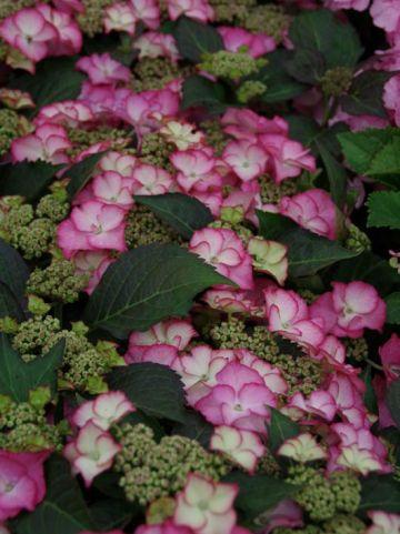 Hydrangea macrophylla 'Tiffany' (='H211902') - Hortensia